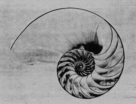 Figura 1.1 - sopra immagine del nautilus, un mollusco di grandi dimensioni. Secondo quei filosofi che vedono armonia e ordine nel mondo, la perfezione del nautilus fa parte di un canone estetico ritenuto bello assoluto utilizzato anche in natura. la sezione del guscio rappresenta, infatti, una perfetta spirale logaritmica