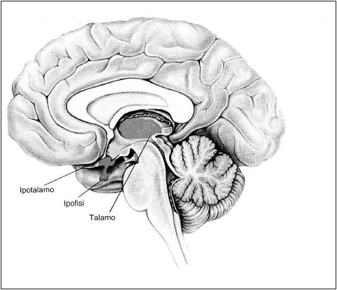 Figura 2.1 e 2.2 - A fianco uno schema che descrive la catena psicofisica che porta alla percezione visiva. sopra schema del cervello. si vede bene la posizione del talamo, un grande collettore dove giunge l'informazione, anche visva, e riparte verso la corteccia.