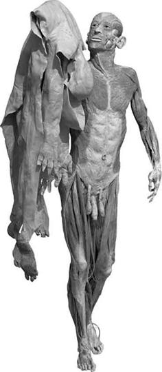 Figura 4.6 - G. von Hagens, Scorticato plastinato, 2002, Heidelberg.